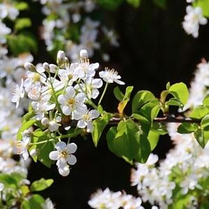 Photographie n°2312104 du taxon Prunus mahaleb L.