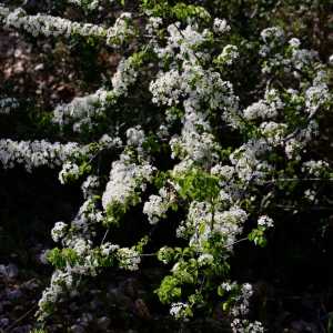 Photographie n°2312107 du taxon Prunus mahaleb L.