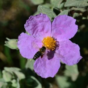 Photographie n°2312293 du taxon Cistus albidus L. [1753]