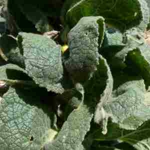Photographie n°2312343 du taxon Verbascum thapsus L.