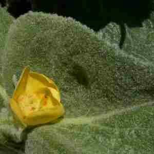 Photographie n°2312344 du taxon Verbascum thapsus L.