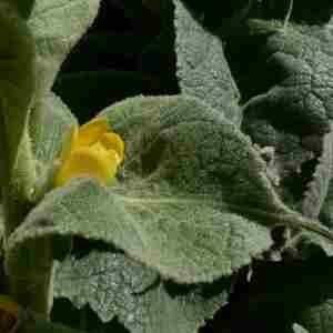 Photographie n°2312345 du taxon Verbascum thapsus L.