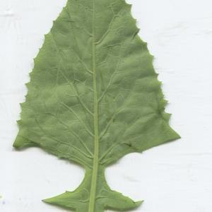 Photographie n°2312421 du taxon Cicerbita alpina (L.) Wallr. [1822]