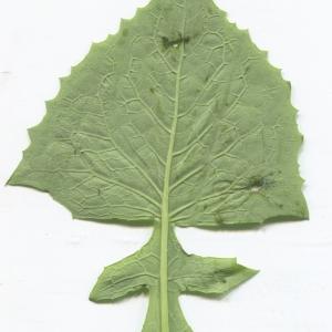 Photographie n°2312424 du taxon Cicerbita alpina (L.) Wallr. [1822]