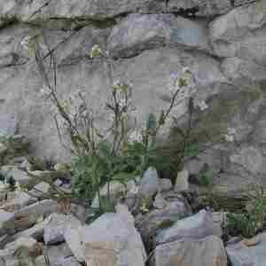 Photographie n°2312475 du taxon Arabis alpina L. [1753]