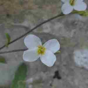 Photographie n°2312476 du taxon Arabis alpina L. [1753]