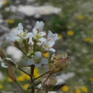Photographie n°2312480 du taxon Capsella bursa-pastoris (L.) Medik. [1792]