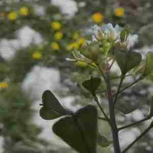Photographie n°2312481 du taxon Capsella bursa-pastoris (L.) Medik.