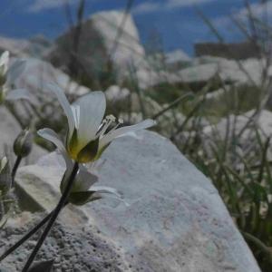 Photographie n°2312484 du taxon Arenaria grandiflora L. [1759]