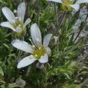 Photographie n°2312485 du taxon Arenaria grandiflora L. [1759]