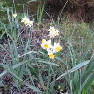 Photographie n°2312585 du taxon Narcissus tazetta L.