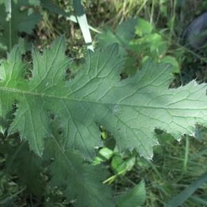 Photographie n°2312616 du taxon Oenothera biennis L. [1753]