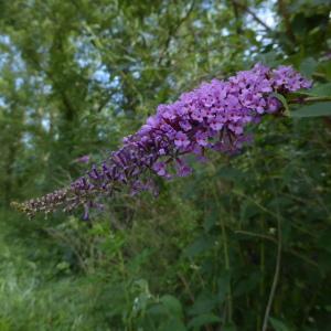 Photographie n°2312666 du taxon Buddleja davidii Franch.