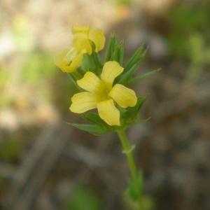 Photographie n°2312711 du taxon Linum strictum L.