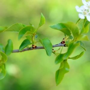 Photographie n°2312834 du taxon Prunus mahaleb L.
