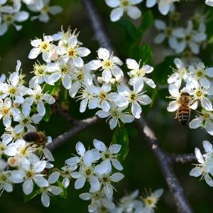 Photographie n°2312836 du taxon Prunus mahaleb L.