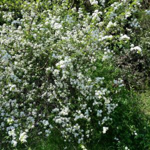 Photographie n°2312839 du taxon Prunus mahaleb L.