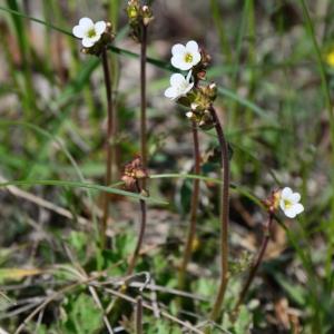 Photographie n°2312947 du taxon Saxifraga granulata L.