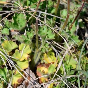 Photographie n°2312948 du taxon Saxifraga granulata L.