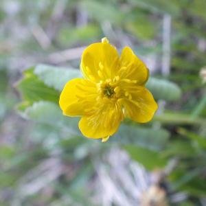 Photographie n°2313030 du taxon Ranunculus thora L. [1753]