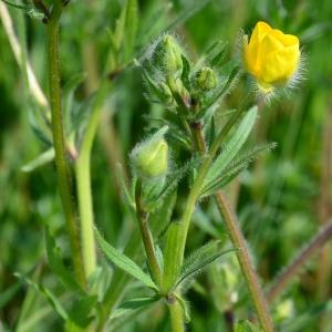 Photographie n°2313041 du taxon Ranunculus bulbosus L. [1753]