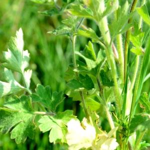 Photographie n°2313043 du taxon Ranunculus bulbosus L. [1753]