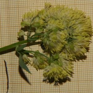 - Thalictrum speciosissimum L. [1758]