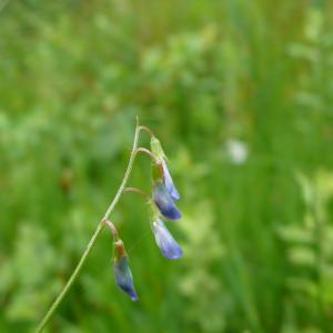 Photographie n°2313436 du taxon Ervum gracile (Lois.) DC. [1813]