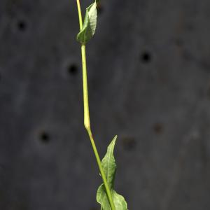 Photographie n°2313450 du taxon Bistorta officinalis Delarbre