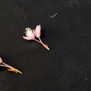 Photographie n°2313454 du taxon Bistorta officinalis Delarbre