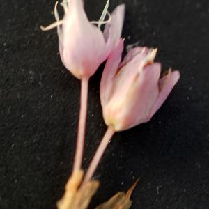 Photographie n°2313455 du taxon Bistorta officinalis Delarbre