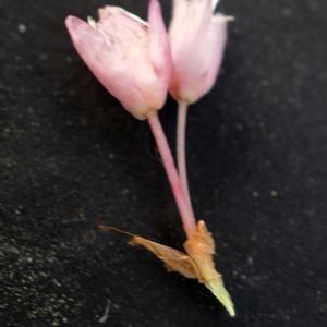 Photographie n°2313457 du taxon Bistorta officinalis Delarbre