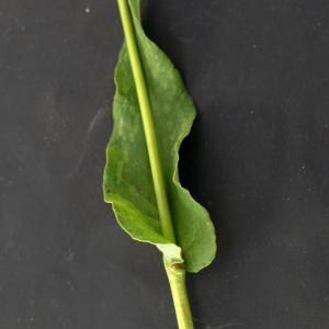 Photographie n°2313458 du taxon Bistorta officinalis Delarbre
