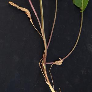Photographie n°2313461 du taxon Bistorta officinalis Delarbre
