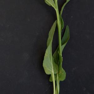 Photographie n°2313462 du taxon Bistorta officinalis Delarbre