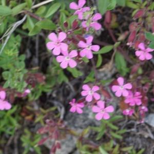 Photographie n°2313494 du taxon Saponaria ocymoides L.