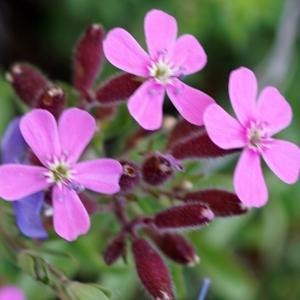 Photographie n°2313496 du taxon Saponaria ocymoides L.