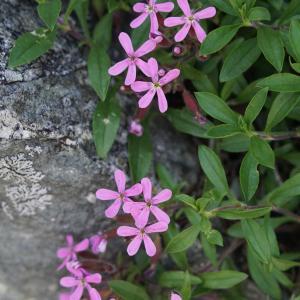 Photographie n°2313497 du taxon Saponaria ocymoides L.