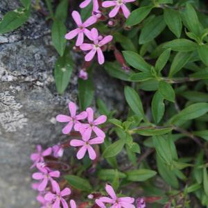Photographie n°2313498 du taxon Saponaria ocymoides L.