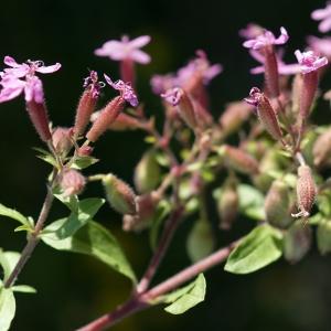 Photographie n°2313500 du taxon Saponaria ocymoides L.