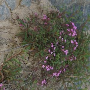 Photographie n°2313508 du taxon Saponaria ocymoides L.