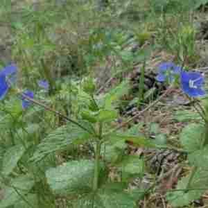 Photographie n°2313711 du taxon Veronica chamaedrys L. [1753]