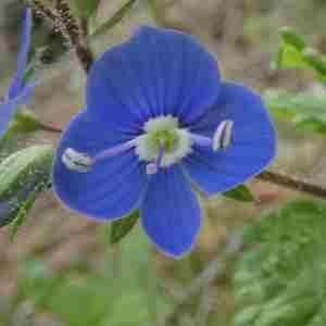 Photographie n°2313712 du taxon Veronica chamaedrys L. [1753]