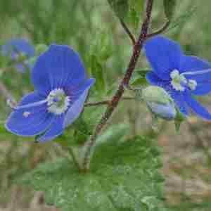Photographie n°2313713 du taxon Veronica chamaedrys L. [1753]