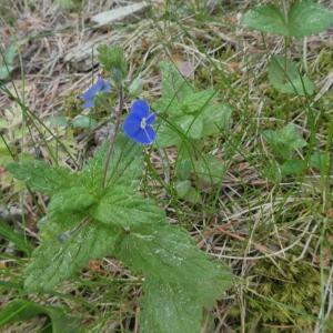 Photographie n°2313714 du taxon Veronica chamaedrys L. [1753]
