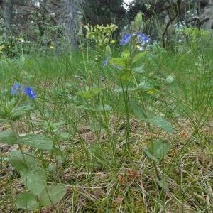 Photographie n°2313715 du taxon Veronica chamaedrys L. [1753]