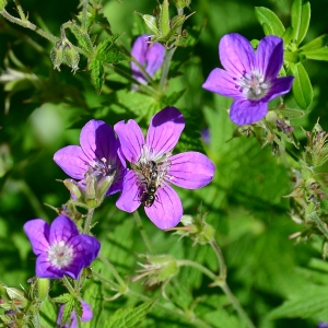 Photographie n°2313898 du taxon Geranium sylvaticum L. [1753]