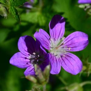 Photographie n°2313899 du taxon Geranium sylvaticum L. [1753]