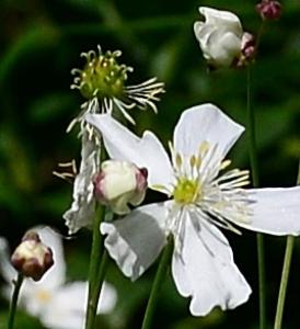 Photographie n°2314009 du taxon Ranunculus aconitifolius L. [1753]