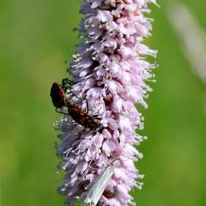 Photographie n°2314014 du taxon Bistorta officinalis Delarbre